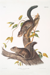 Sciurus Colliaei By John Audubon