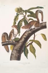 Sciurus Carolinensis By John Audubon