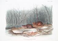 Arvicola Richardsonii By John Audubon