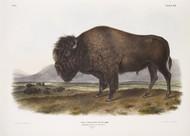 Bos Americanus By John Audubon