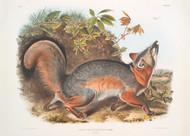 Canis Vulpes Virginianus By John Audubon