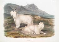Capra Americana Rocky Mountain Goat By John Audubon