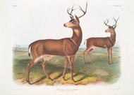 Cervus Richardsonii By John Audubon