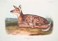 Cervus Virginianus Common American Deer By John Audubon