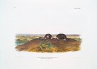 Condylura Cristata By John Audubon