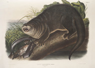 Lutra Canadensis Natural Size By John Audubon