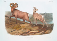 Ovis Montana Rocky Mountain Sheep By John Audubon