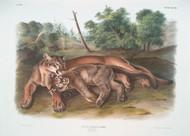 Felis Concolor The Cougar (Female)  By John Audubon