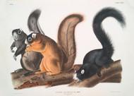Sciurus Capistratus Fox Squirrel By John Audubon