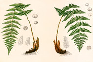 Fern Specimens By L Prang Co Floral Print