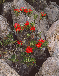 Red Waratah by Peter Dombrovskis