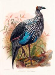 Acryllium Vulturina