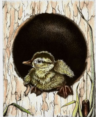 Duckling in a Hollow