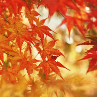 Magic autumn maple leaves