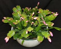 """Christmas Cactus 10"""" Local area delivery only"""