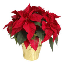 Red Poinsettia 2p