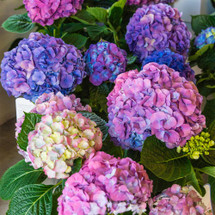 Big, beautiful blossoms of pretty petals make the Blue/Lavennder mix hydrangea a popular gift. Always appreciated, this versatile selection is perfect for a birthday, housewarming, thank-you whatever. Beautiful to look at and easy to grow, no wonder it's America's darling.