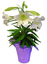 1 Stem Easter Lily