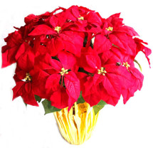 Red Poinsettia 3 P