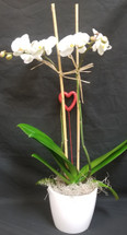 Valentine's Day Phalaenopis Orchid