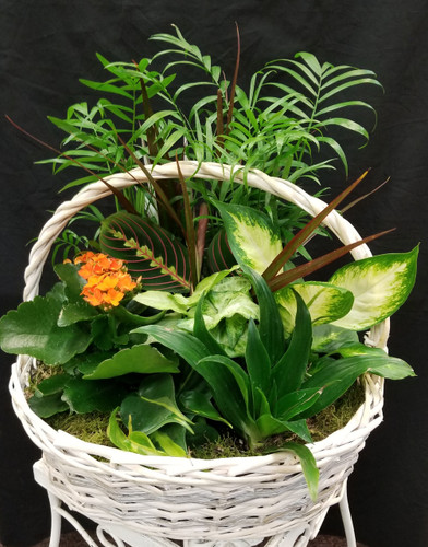 You don't have to follow the yellow brick road to find this emerald jewel. All kinds of gorgeous greens fill this basket that makes a perfect gift for men or women. Celebration or sympathy. Birthday or any day. So beautiful and bountiful it will deliver any message eloquently.  10 Inch basket with mixed green plants and a blooming plant