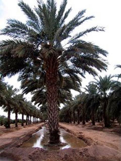 How Are Dates Grown Harvesting Dates At Dateland Date Gardens