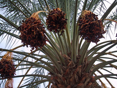 Medjool Dates Growing on a Date Palm