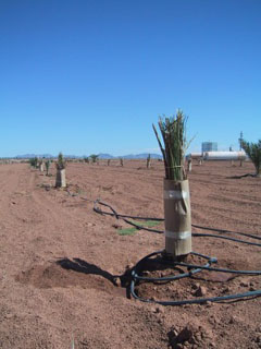 Wrappend Date Palm Pup
