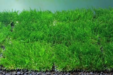 Flame Moss Pad
