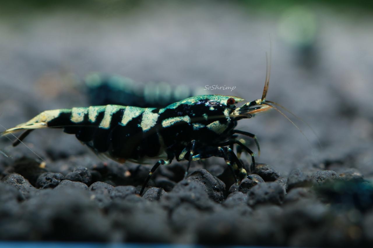 Black Pinto Shrimp - Berried female