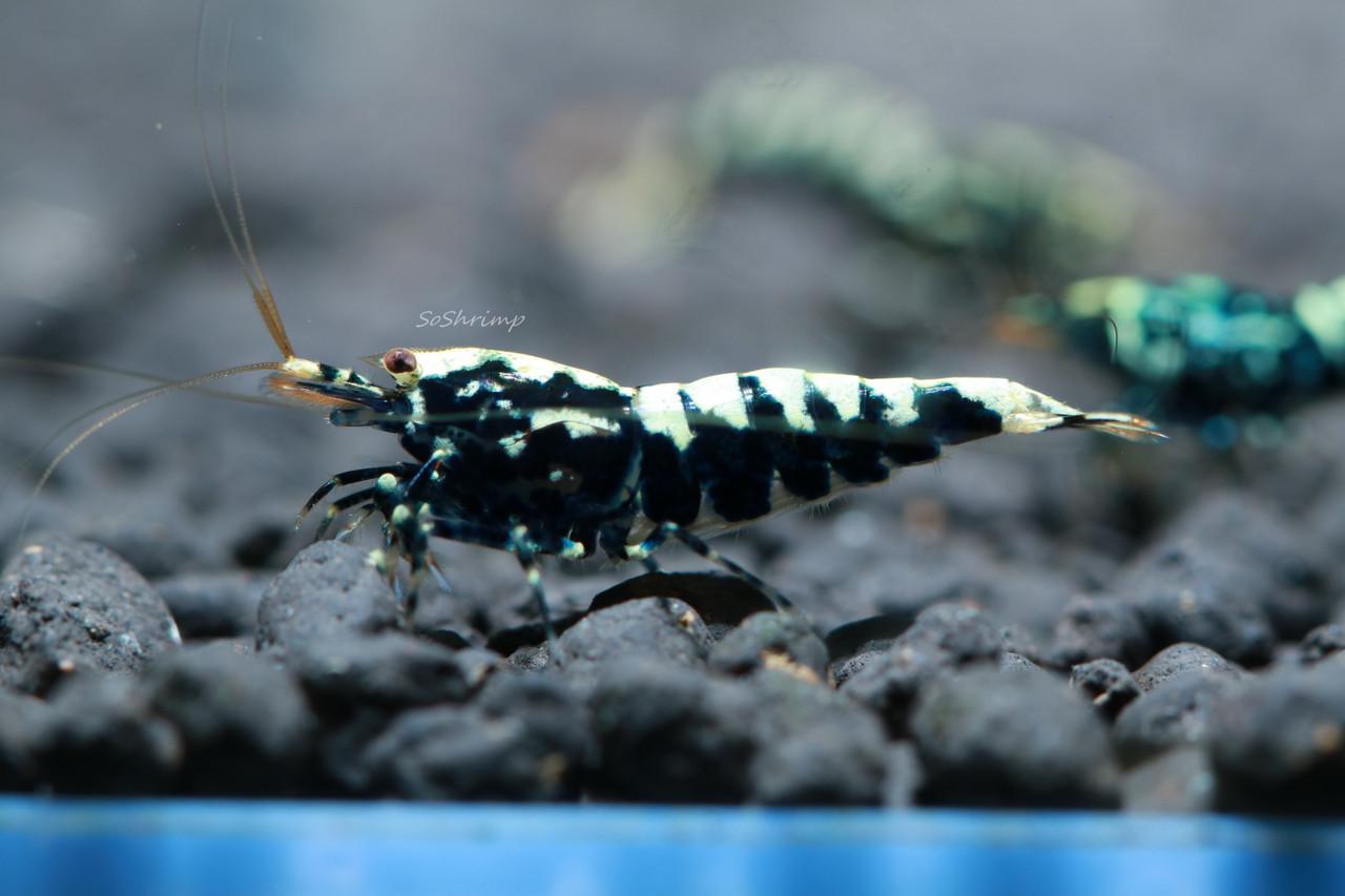 Black Pinto Shrimp - Male