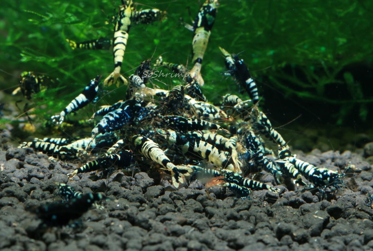 Black Pinto Shrimp - Feeding