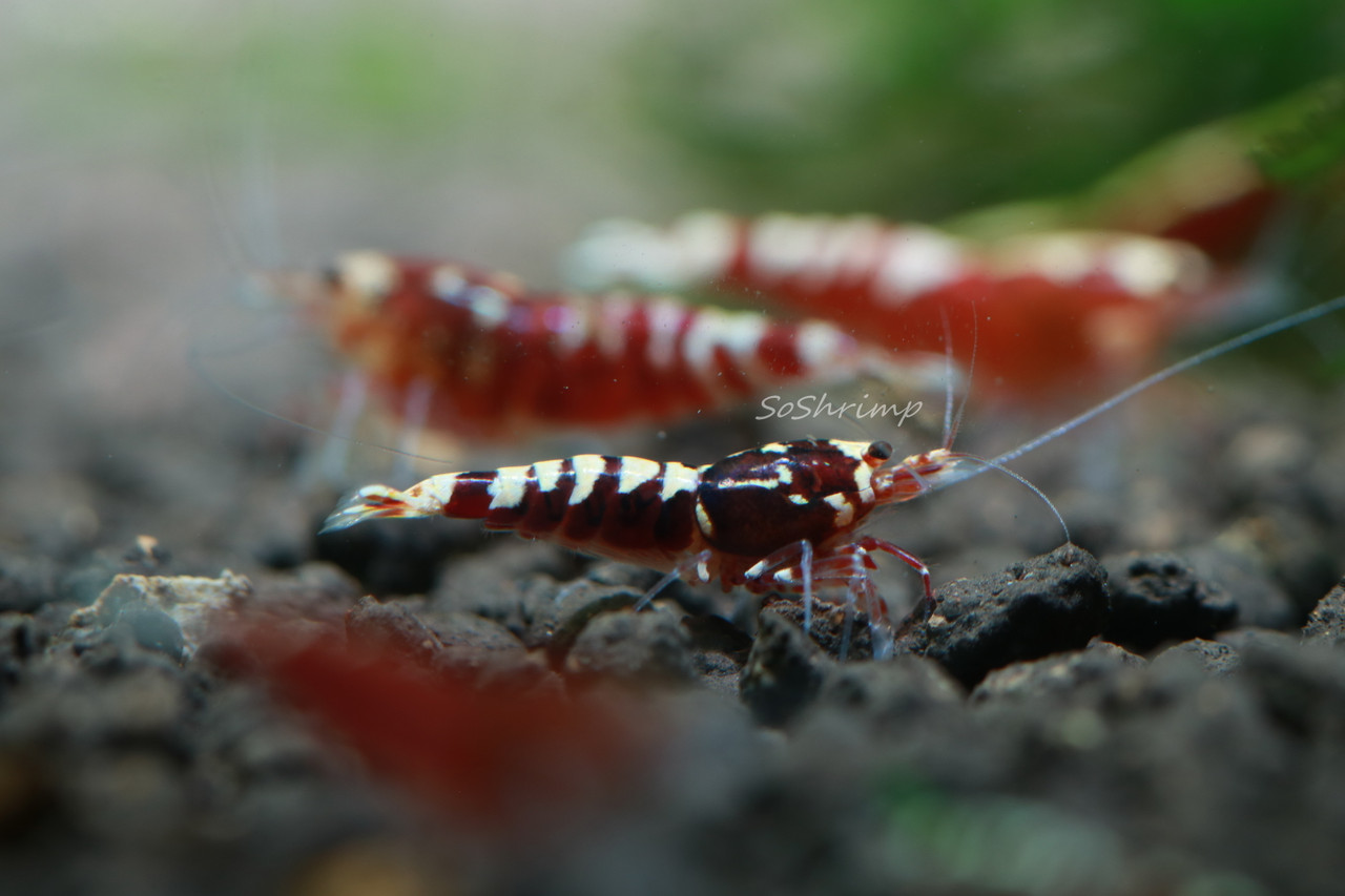 Red Pinto Shrimp - Juvenile