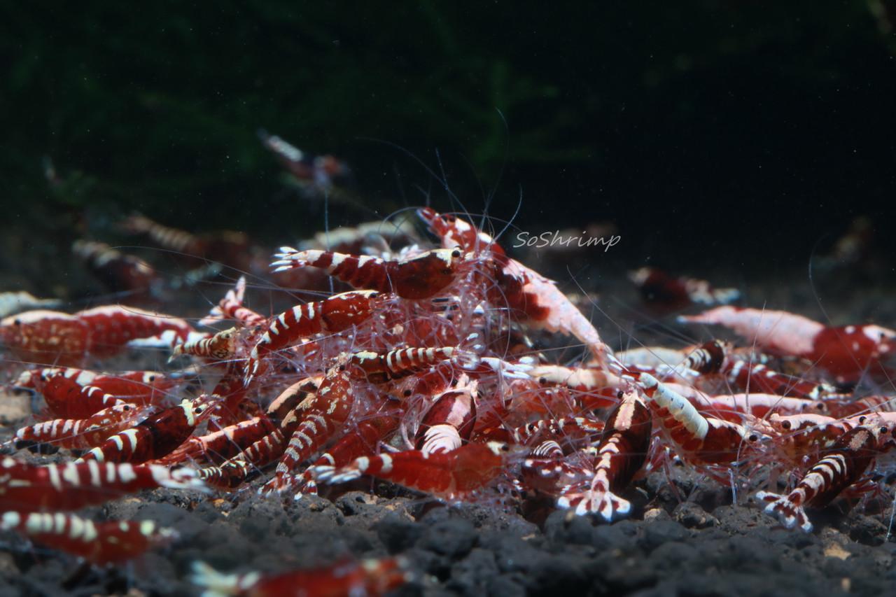 Red Pinto Shrimp - Feeding