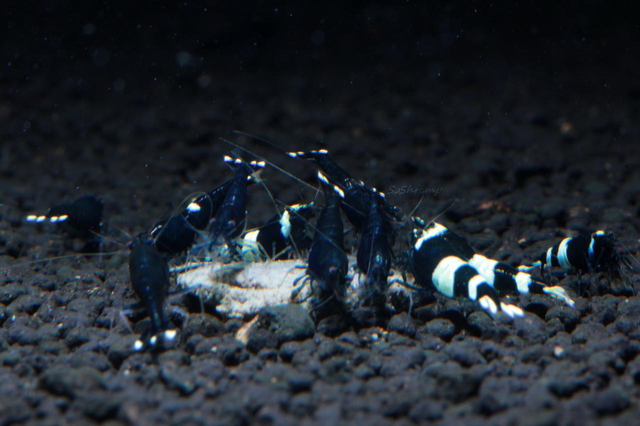 Black King Kong shrimp