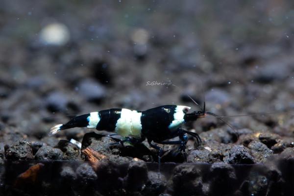 Black king kong panda shrimp
