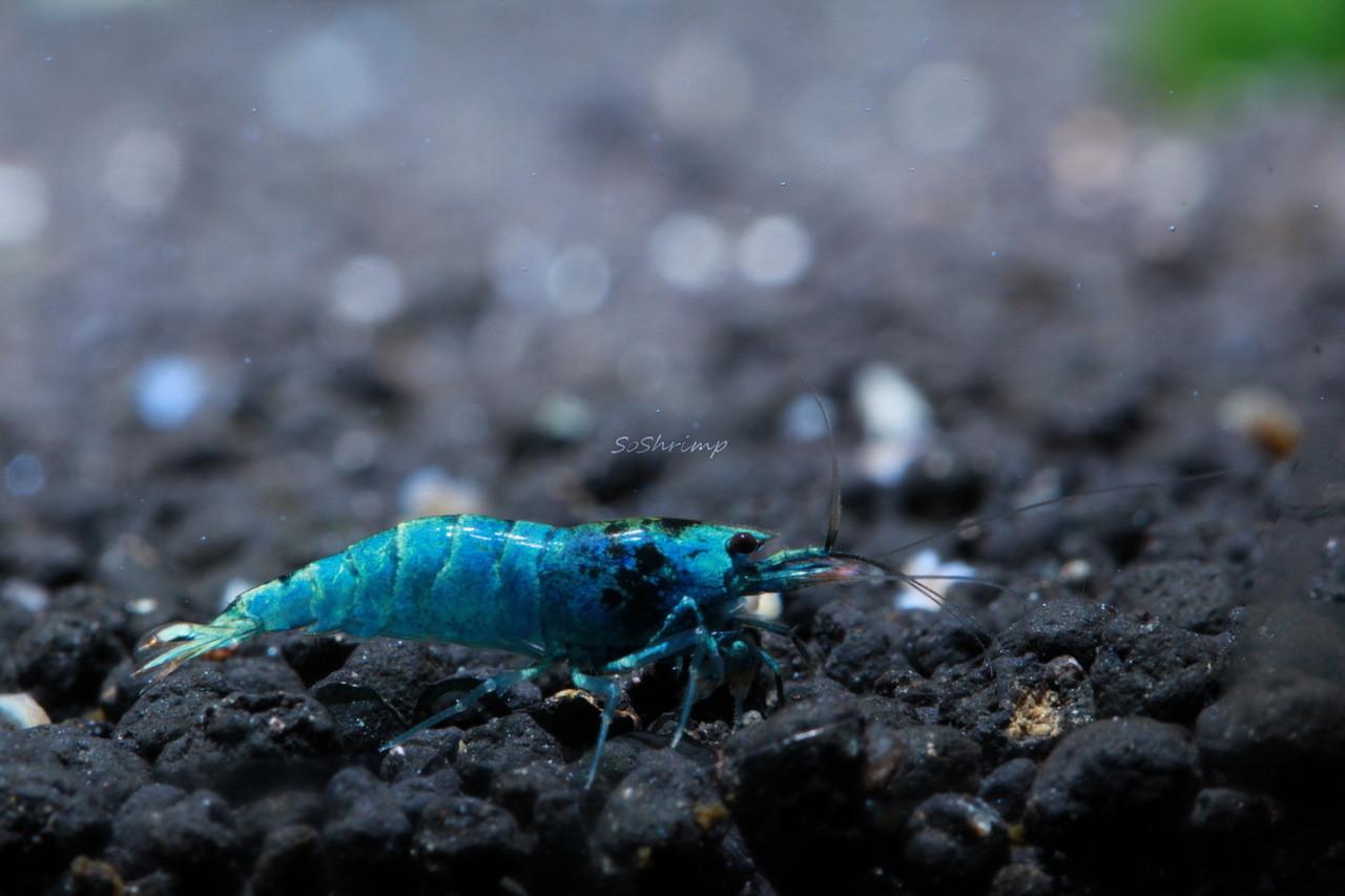 High grade Blue Bolt Shrimp - Deep Blue