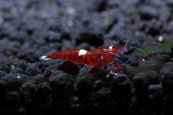 Wine Red Shrimp aka Red King Kong Shrimp