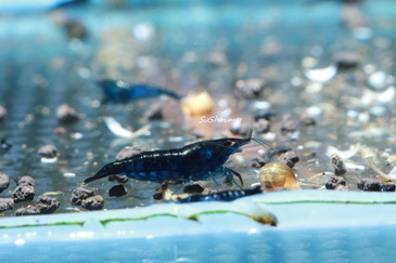 blue diamond shrimp female