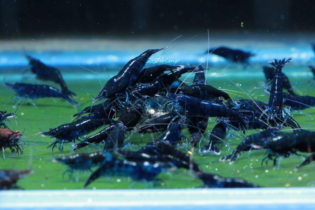 blue diamond shrimp group picture