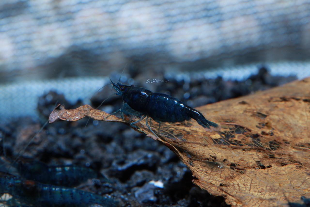 blue diamond shrimp female