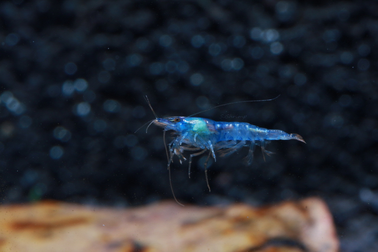 Blue Velvet shrimp female