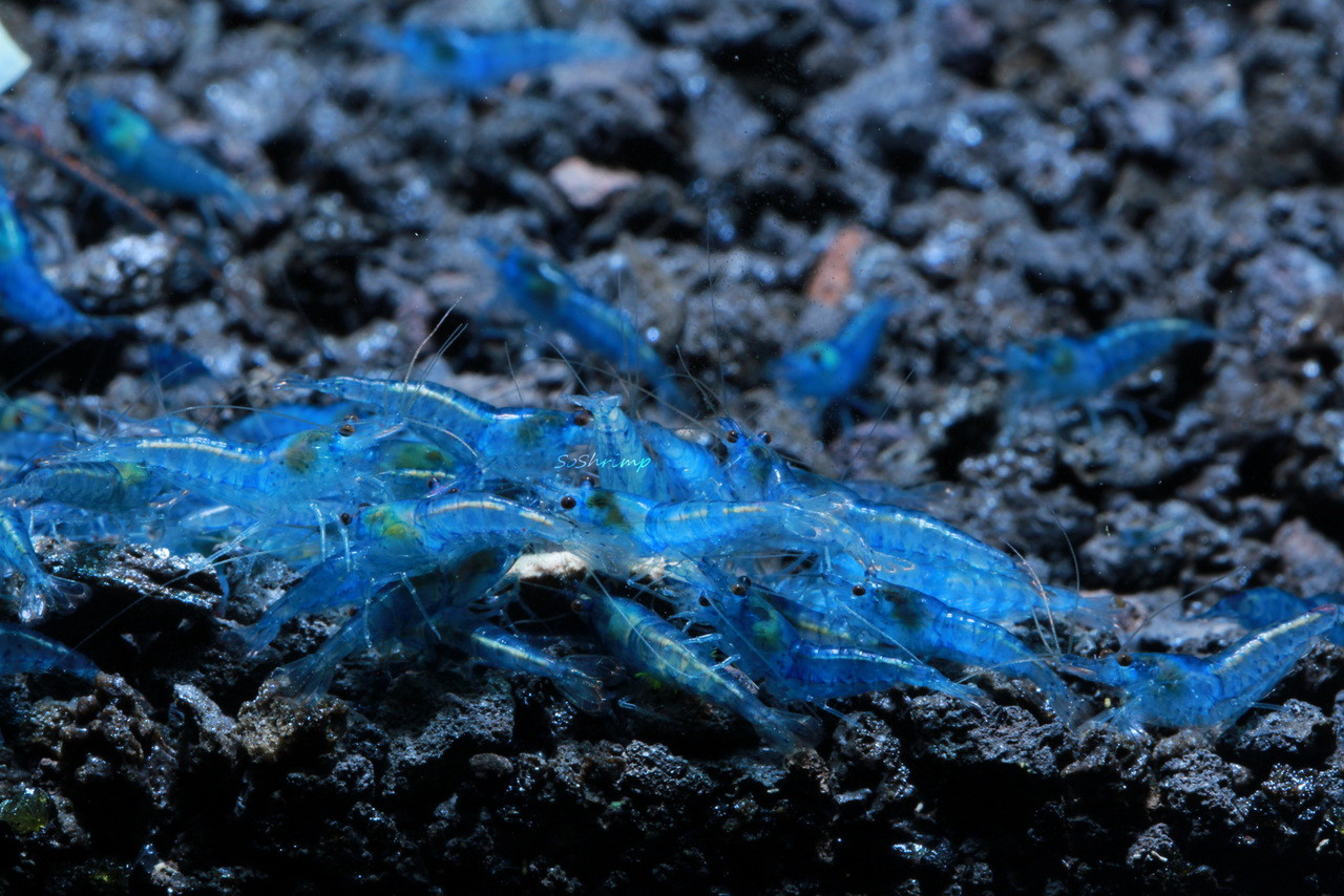 Blue Velvet shrimp feeding