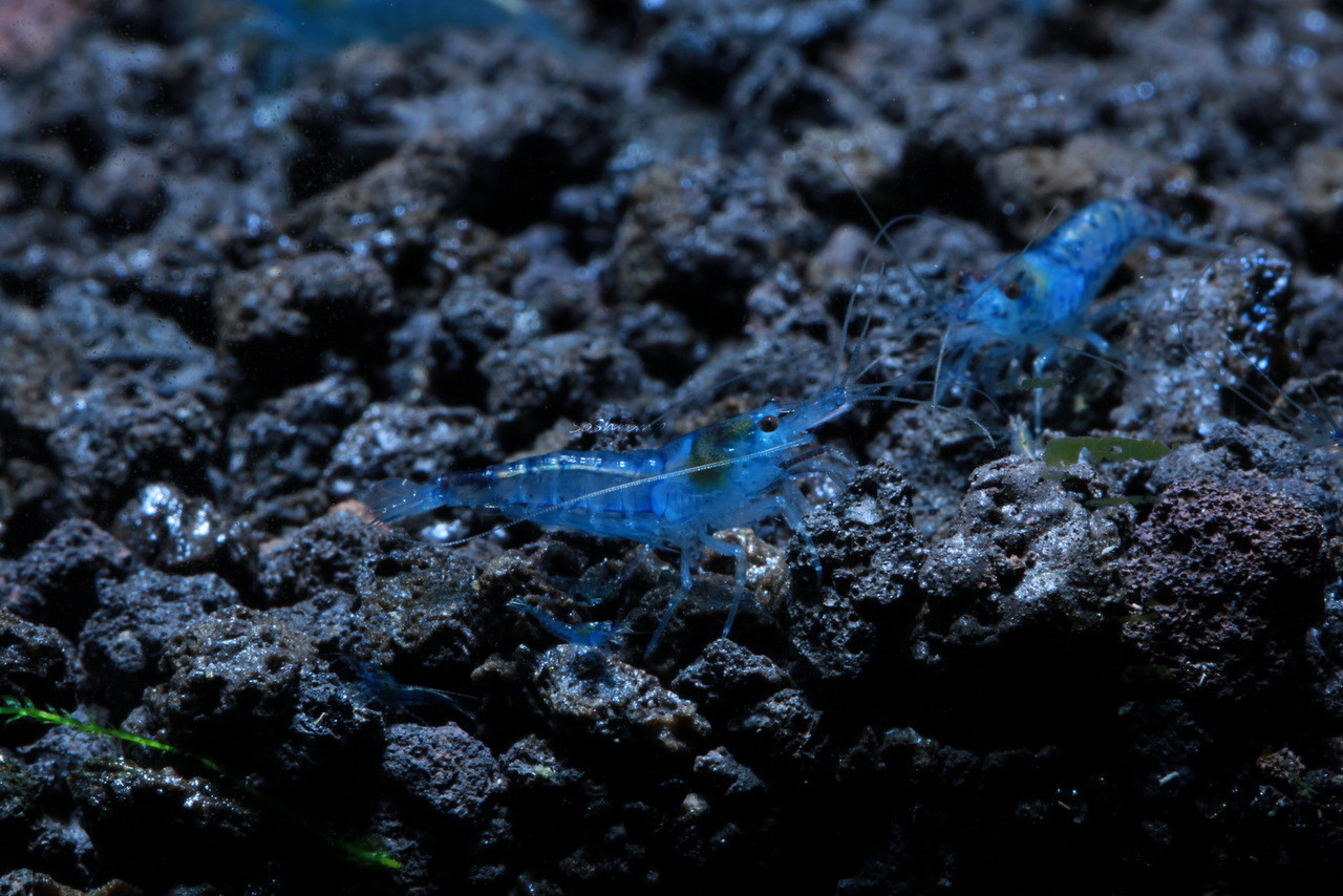 Blue Velvet shrimp male