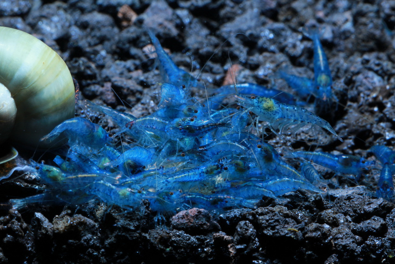 Blue Velvet shrimp group picture