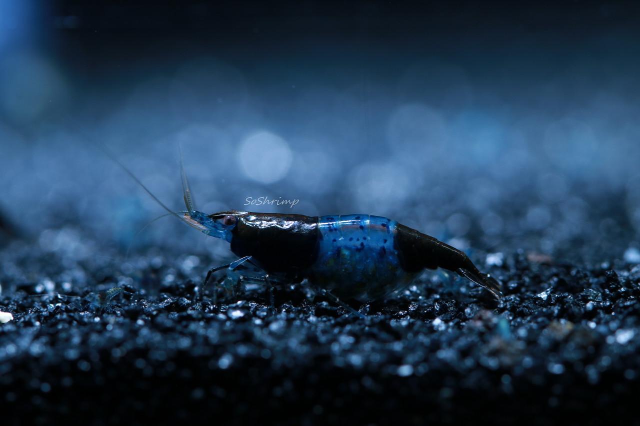 Carbon Rili Shrimp - Berried Female