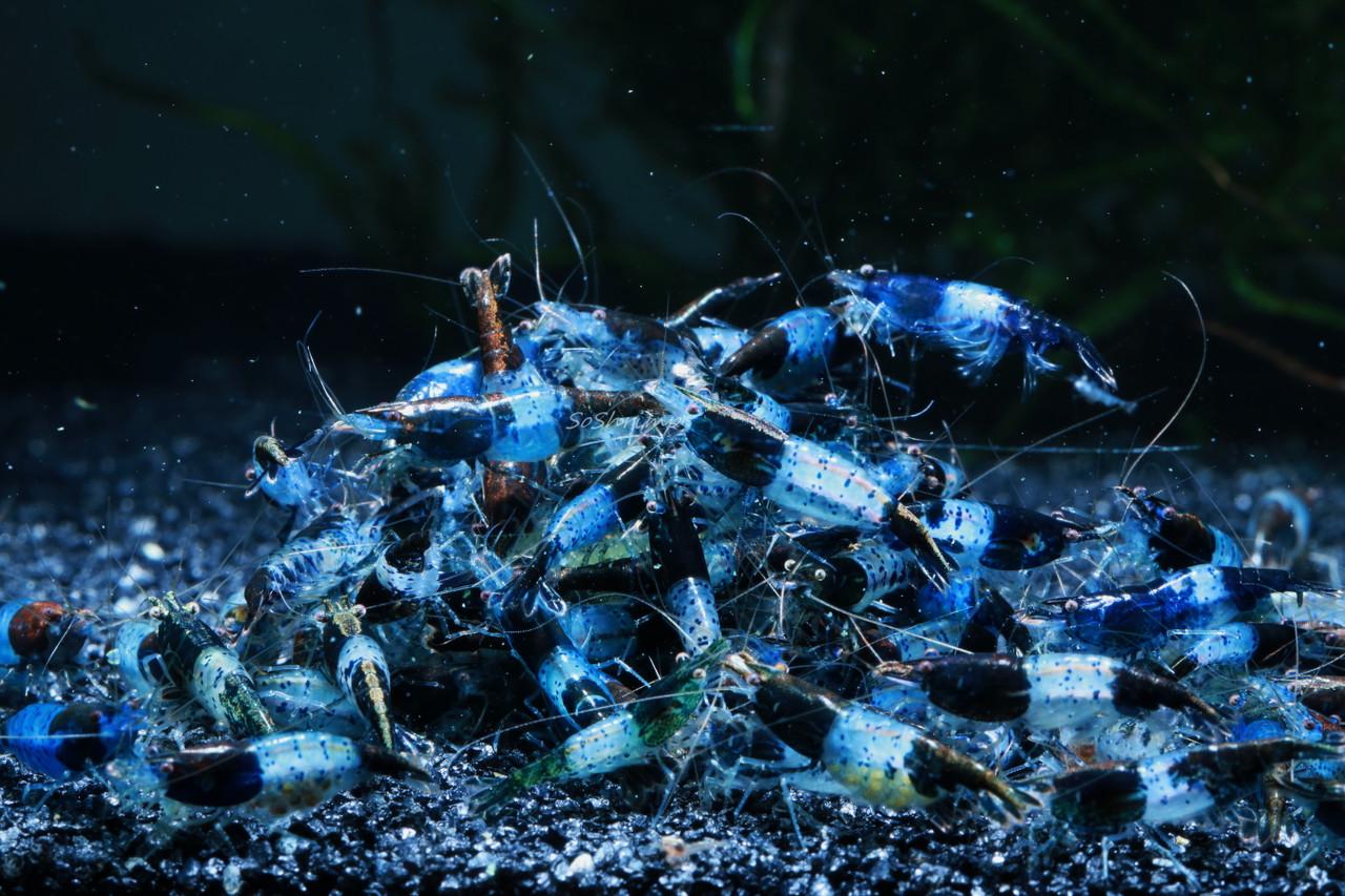 Carbon Rili Shrimp - Feeding