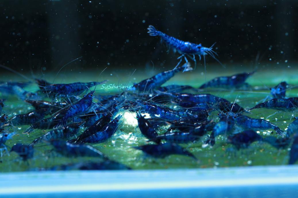 Dream blue velvet shrimp, blue dreams group picture