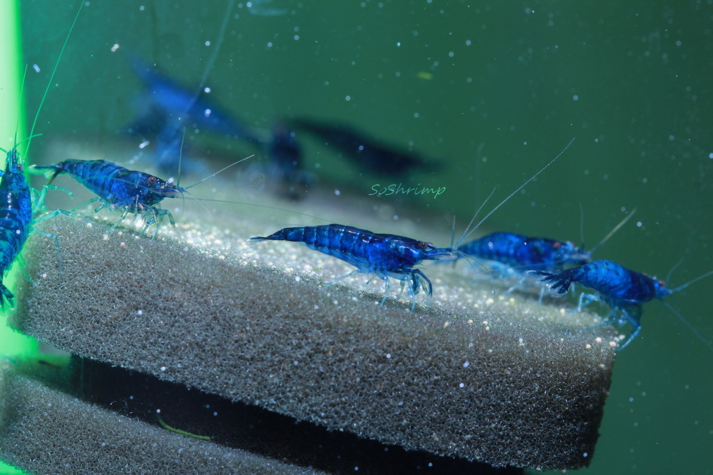 male Dream blue velvet shrimp, blue dreams