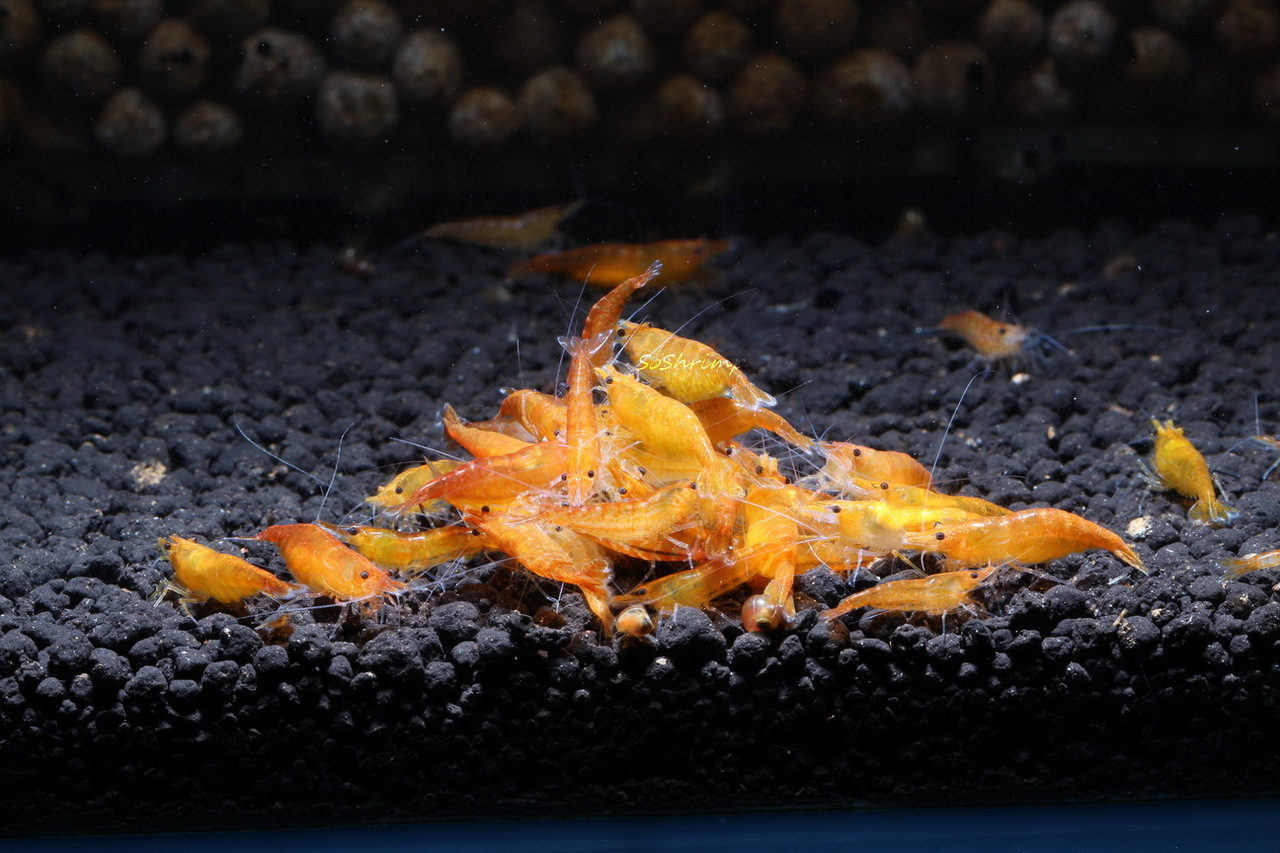 Orange Sakura Shrimp feeding